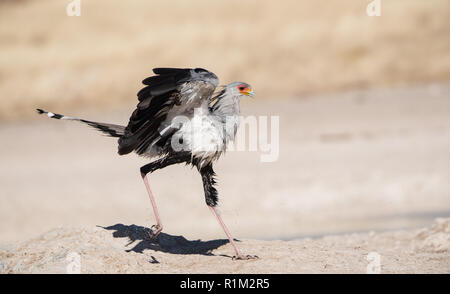 Secretary bird (Sagittarius Serpentarius) close up, Etosha national park, Namibia, Africa - Stock Photo