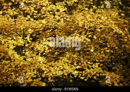 yellow discolored oak leaves on branches, Germany, Europe  I gelb verfärbte Eichenblätter an Ästen, Deutschland, Europa I - Stock Photo