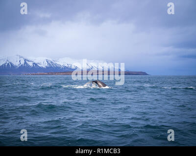 Tail of Humpback whale off the coast of iceland near Hauganes - Stock Photo