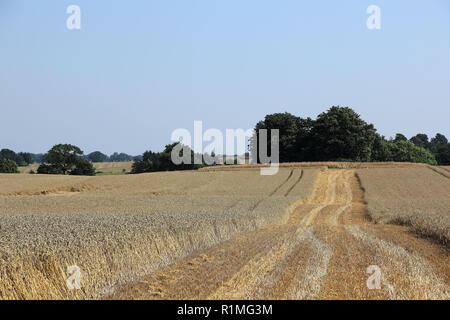 A ripe cornfield in North Germany - Stock Photo