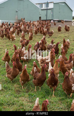 free range egg laying hens - Stock Photo