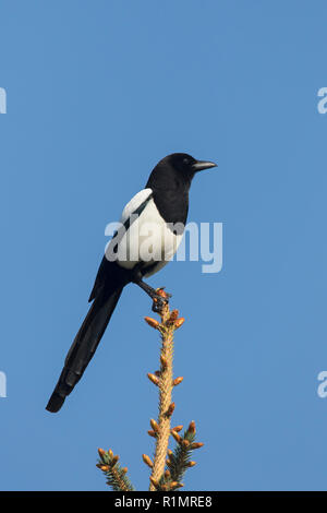 Eurasian magpie / common magpie (Pica pica) perched in tree against blue sky - Stock Photo