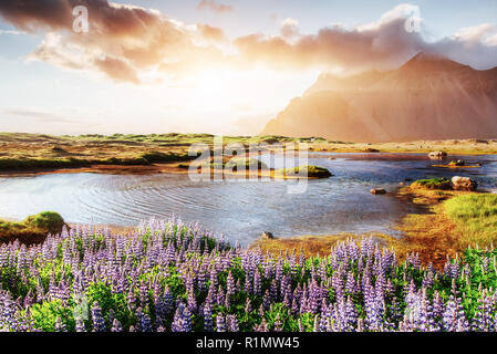 Colorful sunset over the mountains. e picturesque landscapes of forests and mountains of Iceland. Wild blue lupine blooming in in summer - Stock Photo