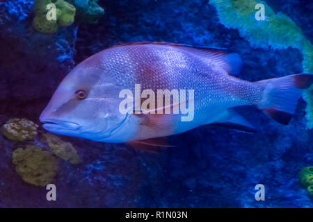 young adult red emperor snapper a tropical aquarium fish from the pacific ocean - Stock Photo