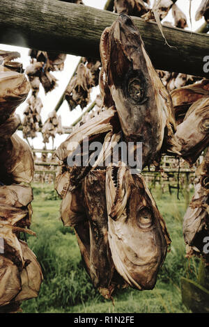 Drying fish heads - cut off fish heads hung out to dry on large timbered frames in the Iceland landscape - Stock Photo