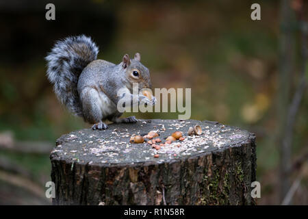 Grey Squirrel Sciurus carolinensis or Eastern Gray Squirrel sitting on a food covered sawn off tree stump and eating an acorn. - Stock Photo