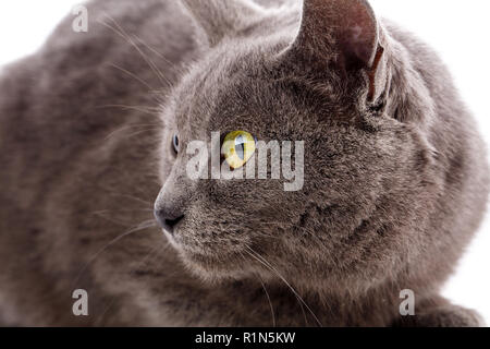 Cat Portrait without breed. A simple gray cat - Stock Photo