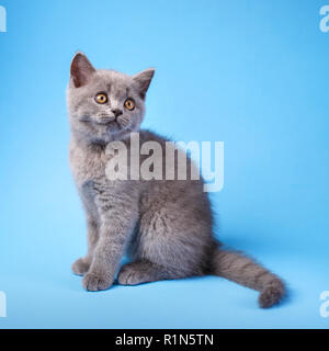 Gray kitty with fluffy mustache on a blue background. - Stock Photo