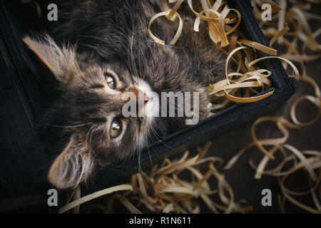 Cat lying in sawdust. Funny gray kitty - Stock Photo