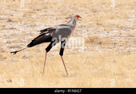 Secretary Bird (  Sagittarius serpentarius ), One adult bird, Etosha national park, Namibia Africa - Stock Photo