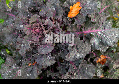 Kalettes a hybrid cross between Kale and Brussels sprouts growing in a country garden in autumn in Carmarthenshire rural Wales UK  KATHY DEWITT - Stock Photo