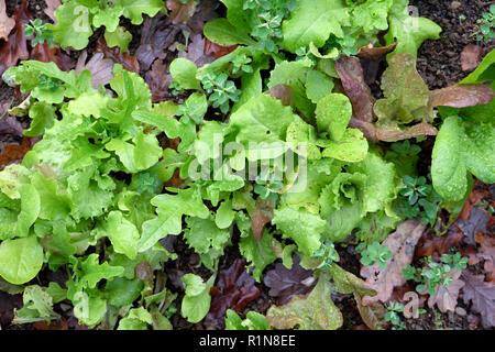 Winter lettuce seedlings growing in a vegetable garden plot in November in rural Wales UK  KATHY DEWITT - Stock Photo