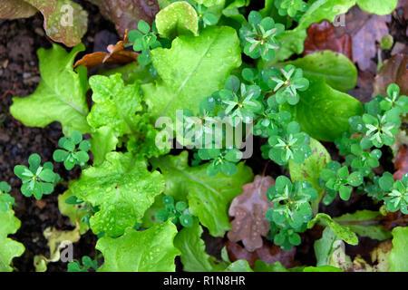 Winter lettuce growing in a vegetable garden plot in November in rural Wales UK   KATHY DEWITT - Stock Photo