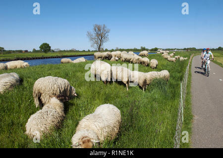 Man and a woman on bicycles passing a group of sheep along the canal de Eem, the Netherlands - Stock Photo