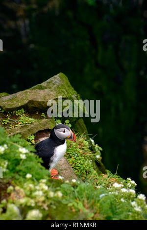 Common / Atlantic Puffin (Fratercula arctica) at Látrabjarg seabird cliff in the Westfjords of Iceland - the largest nesting seabird cliff in Europe - Stock Photo