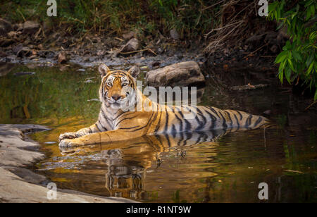 Alert female (tigress) Bengal tiger (Panthera tigris) laying cooling in water with reflection, Ranthambore National Park, Rajasthan, northern India - Stock Photo