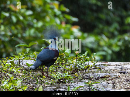 A Western Crowned Pigeon (Goura cristata) in the wild. Waigeo Island, Raja Ampat, Indonesia. - Stock Photo