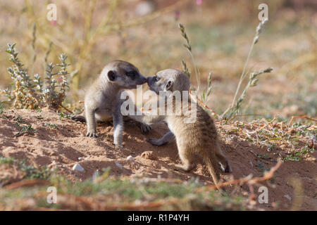 Meerkats (Suricata suricatta), two young males playing at burrow, nose to nose, Kgalagadi Transfrontier Park, Northern Cape, South Africa, Africa - Stock Photo