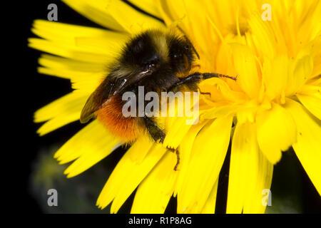 Bilberry bumblebee (Bombus monticola) adult worker feeding on a dandelion flower. Powys, Wales. June. - Stock Photo