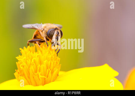 Common Drone Fly (Eristalis tenax) adult female feeding on a Marigold flower in a garden. Powys, Wales. July. - Stock Photo