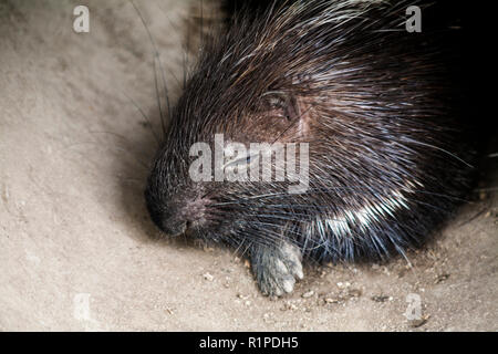 Malayan Porcupine , Scientific name Hystrix  brachyura - Stock Photo