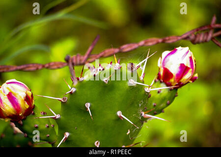 Close up of Prickly Pear (Opuntia cactus)in bloom, showing sharp thorns. Green background, shallow depth of field. - Stock Photo