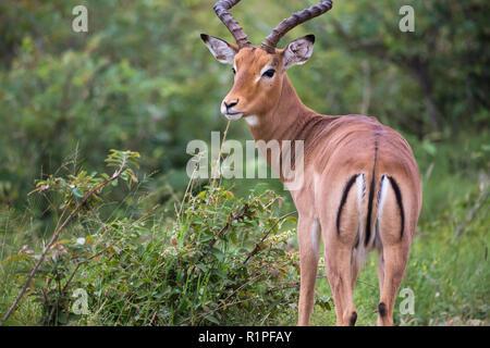 Impala (Aepyceros melampus) male ram antelope portrait and close up in wild of Madikwe game reserve South Africa - Stock Photo