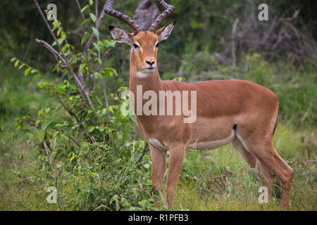 Impala (Aepyceros melampus) male ram antelope portrait and close up in wild of Madikwe game reserve in South Africa - Stock Photo