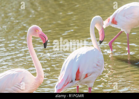 Two pink flamingos walking in the water  in natural environment - Stock Photo