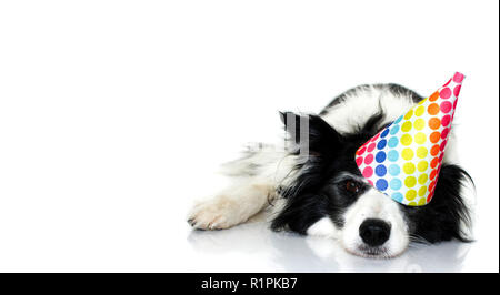 CUTE BORDER COLLIE DOG CELEBRATING A BIRTHDAY OR NEW YEAR PARTY WITH A MULTI COLORED POLKA DOT HAT. LYING DOWN WITH A LOVELY EXPRESSION. ISOLATED STUD - Stock Photo