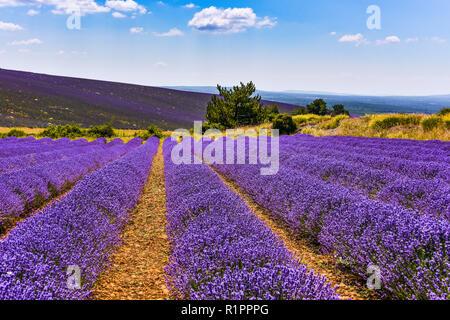 lavender fields in full bloom, Ferrassières, Provence, France