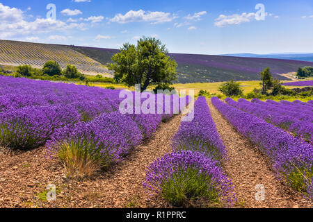 lavender field with landcape and tree, Ferrassières, Provence, France - Stock Photo