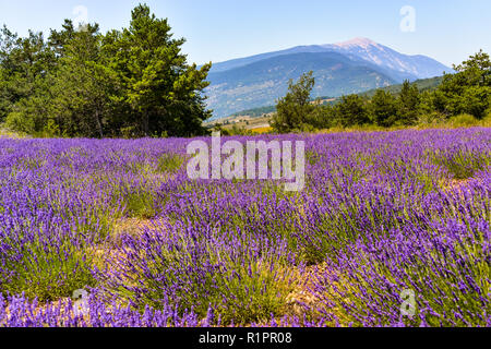 mountain Mont Ventoux with lavender field in foreground, village Ferrassières, Provence, France - Stock Photo