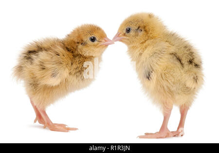 Two Japanese Quail, also known as Coturnix Quail, Coturnix japonica, 3 days old, in front of white background - Stock Photo