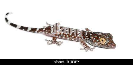 Tokay Gecko, Gekko gecko, portrait against white background - Stock Photo