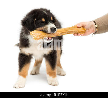 Australian Shepherd puppy, 2 months old, holding knuckle bone in its mouth against white background - Stock Photo