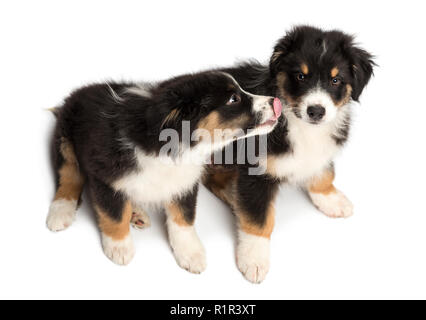 High view of Two Australian Shepherd puppies, 2 months old, sitting, licking and looking at camera against white background - Stock Photo