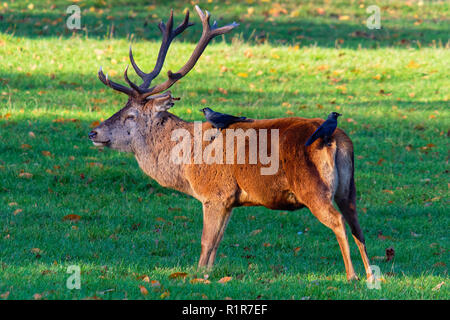 Red Deer stag standing in the autumn sun with two Carrion Crows on its back - Stock Photo