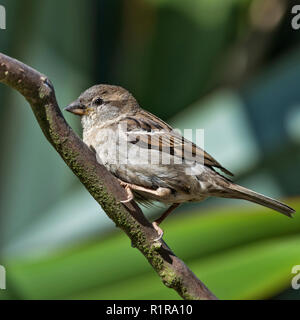 left facing portrait of female house sparrow, Passer domesticus sitting on branch against a dark green background - Stock Photo