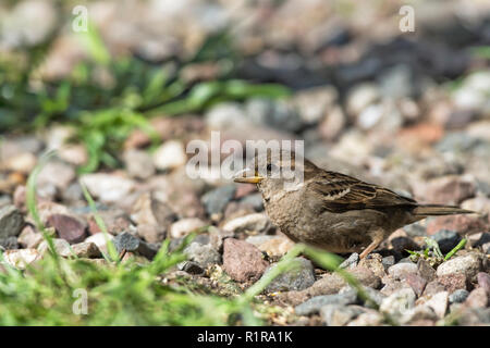 Left facing portrait  female house sparrow, Passer domesticus, sitting on pebbles - Stock Photo