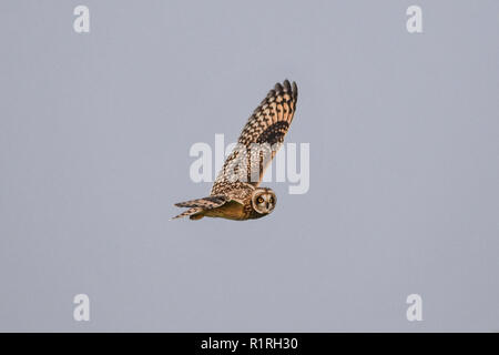 Bartinney Downs, Lands End, Cornwall, UK. 14th  November 2018. 4 Short eared owls were out hunting in the afternoon on the fields near lands end airport. Credit: Simon Maycock/Alamy Live News - Stock Photo