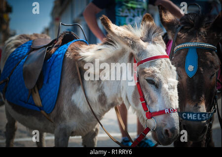Two donkeys Rosie & Chelsea wait for passangers to give a ride to on the seafront. - Stock Photo