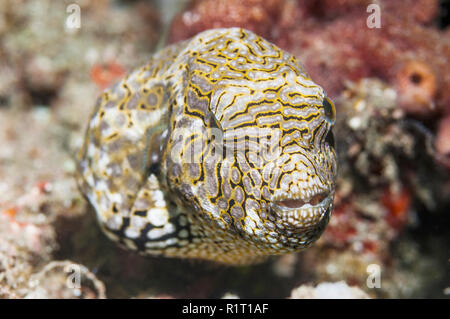 Mappa puffer [Arothron mappa].  Lembeh Strait, North Sulawesi, Indonesia.  Indo-West Pacific. - Stock Photo