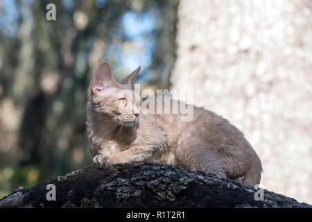 Devon Rex cat on a fallen log in the woods - Stock Photo