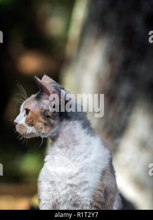 Devon Rex cat on a fallen log in the woods - Stock Photo