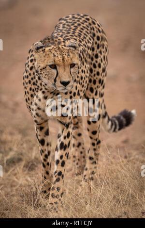 Cheetah walks towards camera in dry grass - Stock Photo