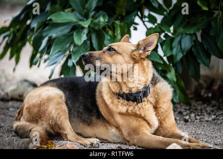 german shepherd dog sitting in front of the house - Stock Photo