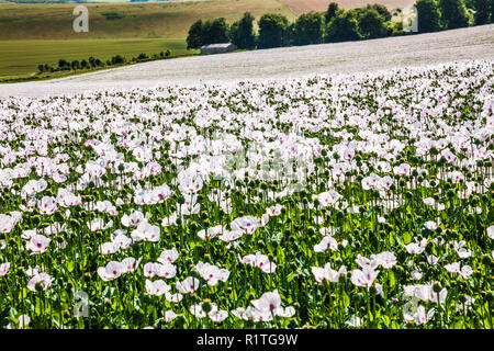 A field of cultivated white poppies on the Marlborough Downs in Wiltshire. - Stock Photo