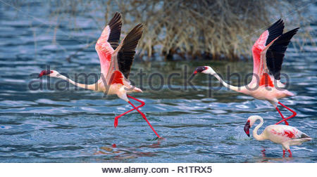 Lesser Flamingos (Phoenicopterus minor) in flight, Lake Bogoria, Great Rift Valley, Kenya, Africa - Stock Photo