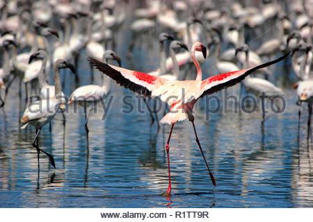 Lesser Flamingo (Phoenicopterus minor), spreading its wings, behind juvenile Lesser Flamingos with gray plumage, Lake Nakuru, Kenya - Stock Photo